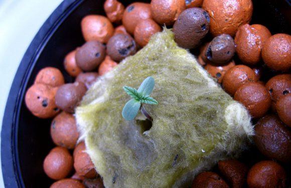 Może nasiona konopi outdoor?